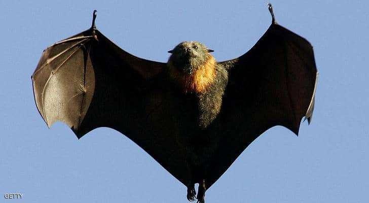 علماء صينيون: الخفافيش مصدر فيروس كورونا الجديد